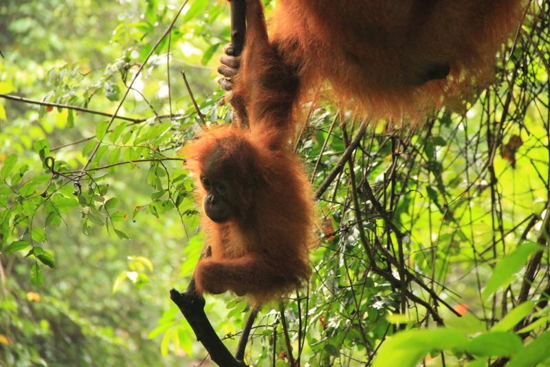 Bukit Lawang Sumatra Orang Utans 20