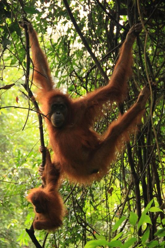 Bukit Lawang Sumatra Orang Utans 19