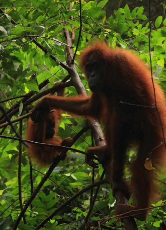 Bukit Lawang Sumatra Orang Utans 18