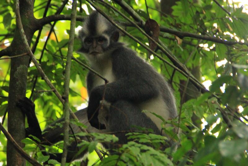 Bukit Lawang Sumatra Orang Utans 13