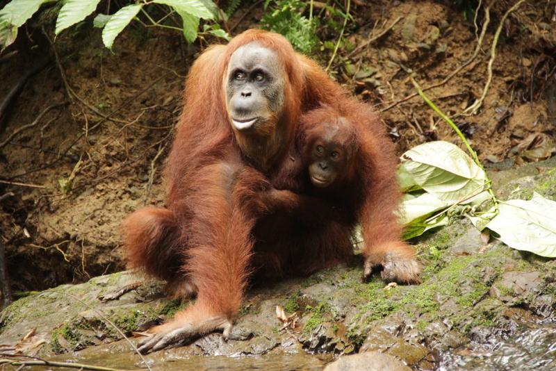 Bukit Lawang Sumatra Orang Utans 4