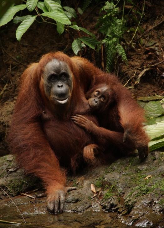 Bukit Lawang Sumatra Orang Utans 3