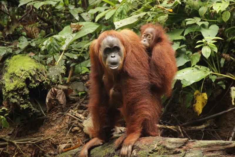 Bukit Lawang Sumatra Orang Utans 2