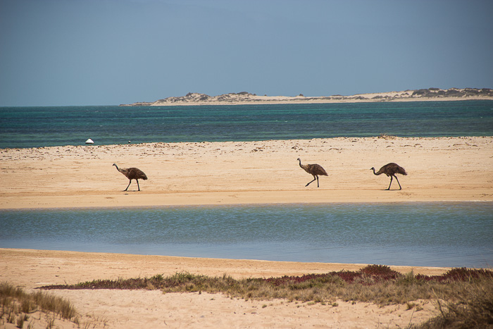 Roadtrip-Westaustralien-Emus-am-Strand