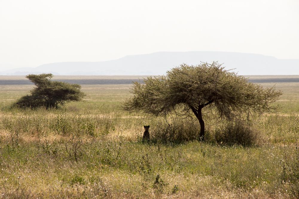 Gadventures Safari Tansania Gepard