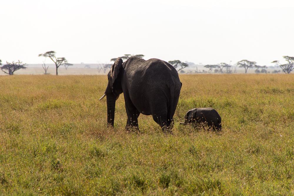Pink Compass Safari Tansania Elefantenmutter
