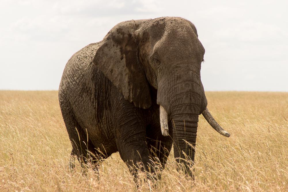 Gadventures Safari Tansania Elefant ganz nah