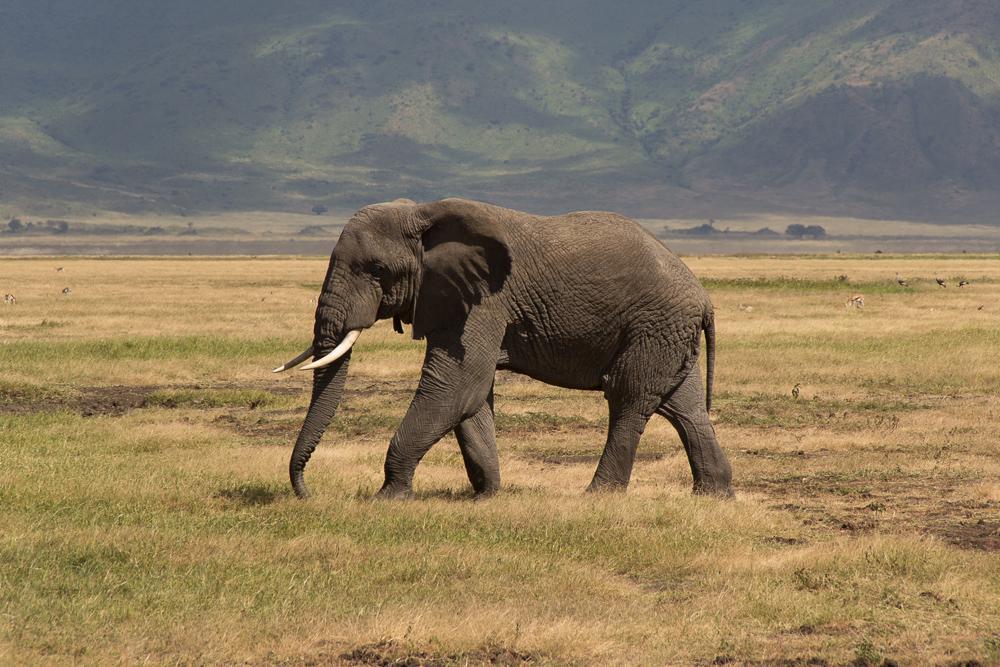 Pink Compass Safari Tansania Elefant