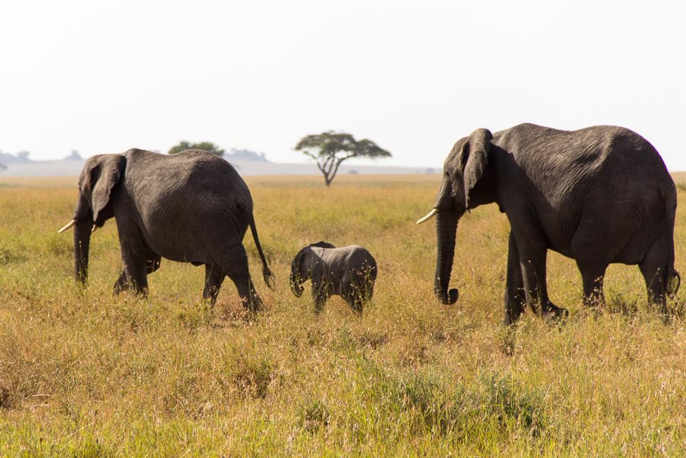 Pink Compass Safari Tansania Elefantenkind