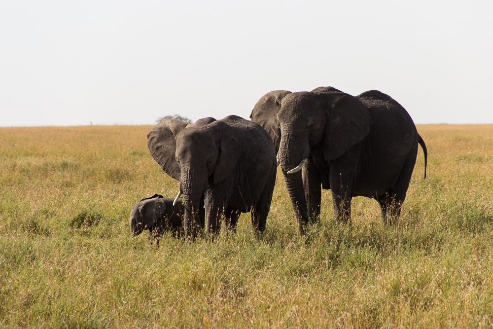 Pink Compass Safari Tansania Elefantenfamilie