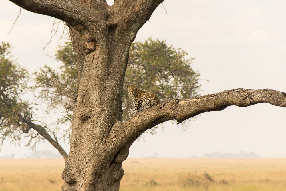 Gadventures Safari Tansania Cheetah