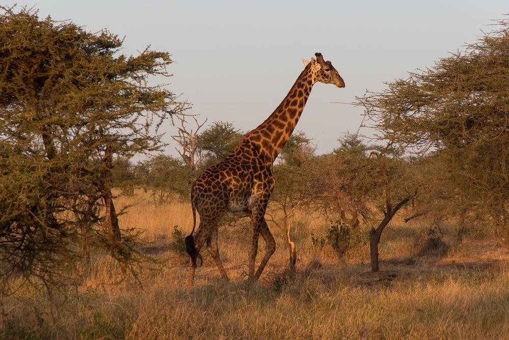 Gadventures Safari Tansania Giraffe Sonnenuntergang