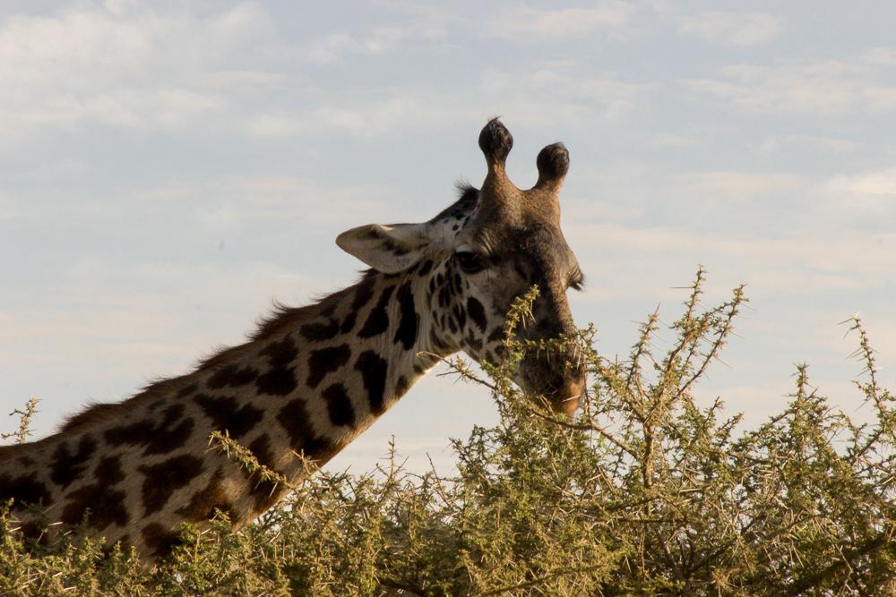Gadventures Safari Tansania Giraffe frisst