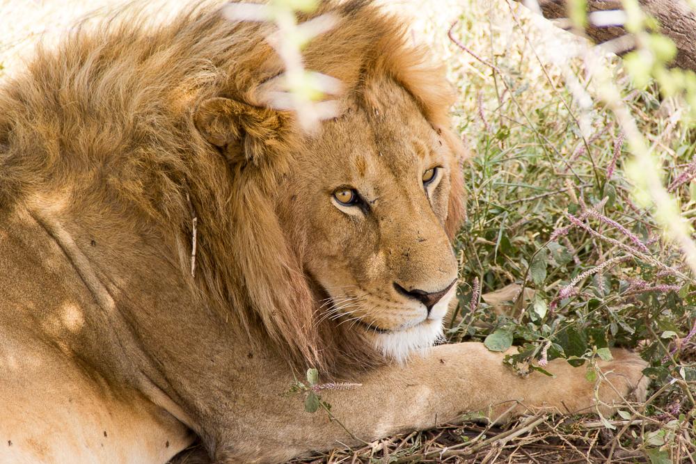 Gadventures Safari Tansania Loewen Portraet