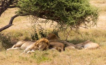 Mit G Adventures durch Tansania: Auf den Spuren von Giraffen, Zebras und den Big 5