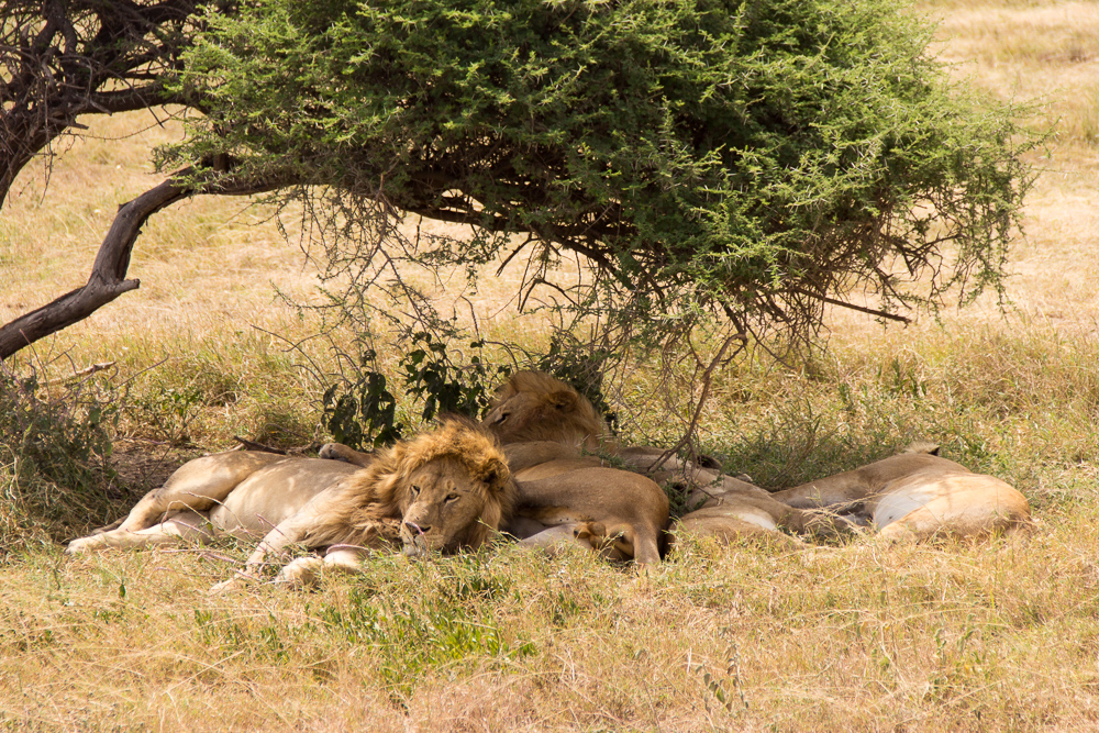 Gadventures Safari Tansania Loewenbande