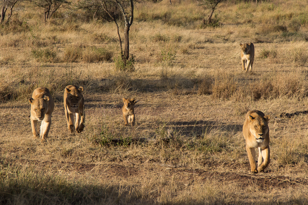 Gadventures Safari Tansania Loewenfamilie