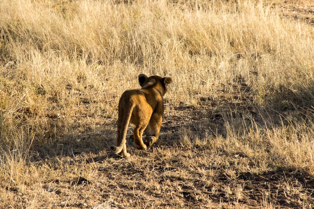 Gadventures Safari Tansania Loewenkind