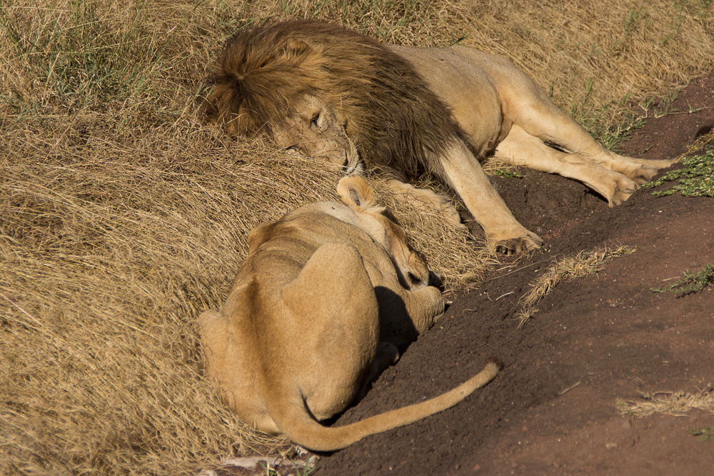 Gadventures Safari Tansania Loewenpaerchen