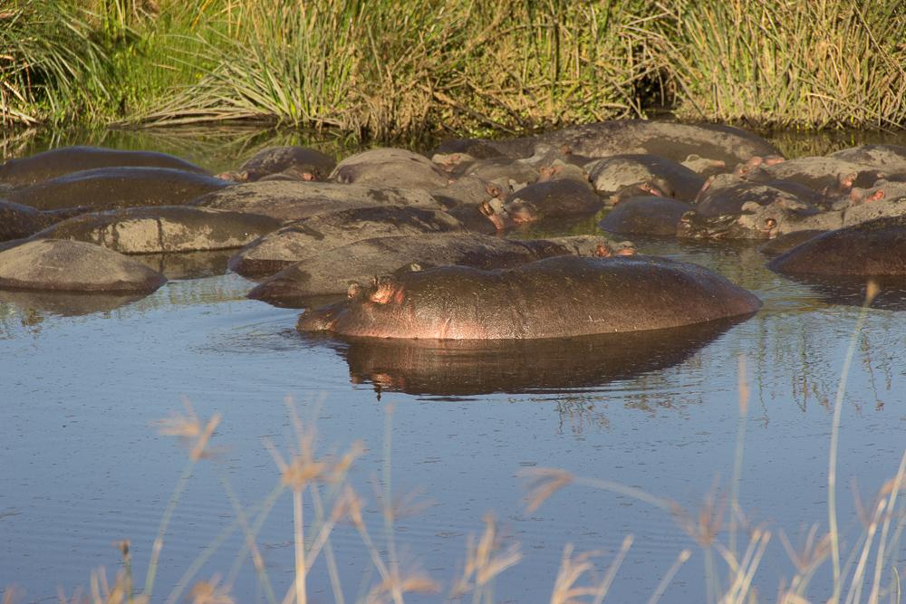 Gadventures Safari Tansania Nilpferd Pool