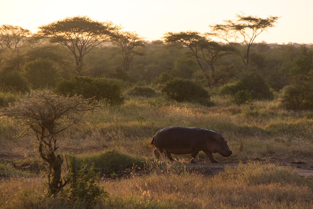 Gadventures Safari Tansania Nilpferd