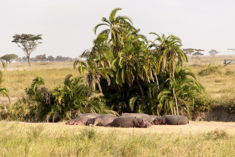 Pink Compass Safari Tansania Nilpferde