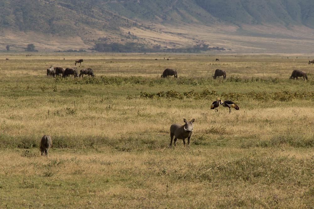 Gadventures Safari Tansania Warzenschwein