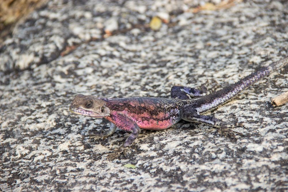 Pink Compass Safari Tansania Salamander