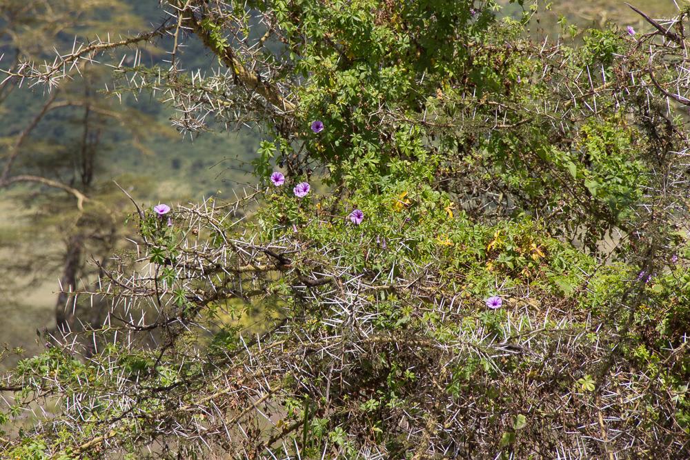 Gadventures Safari Tansania Stachelbaum
