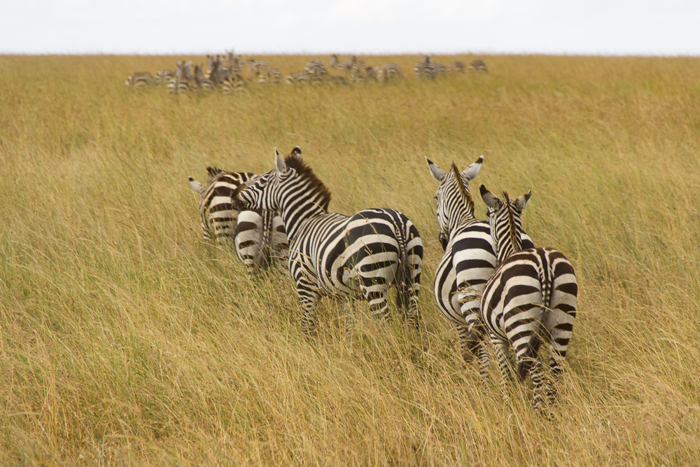 Gadventures Safari Tansania Zebra Karawane