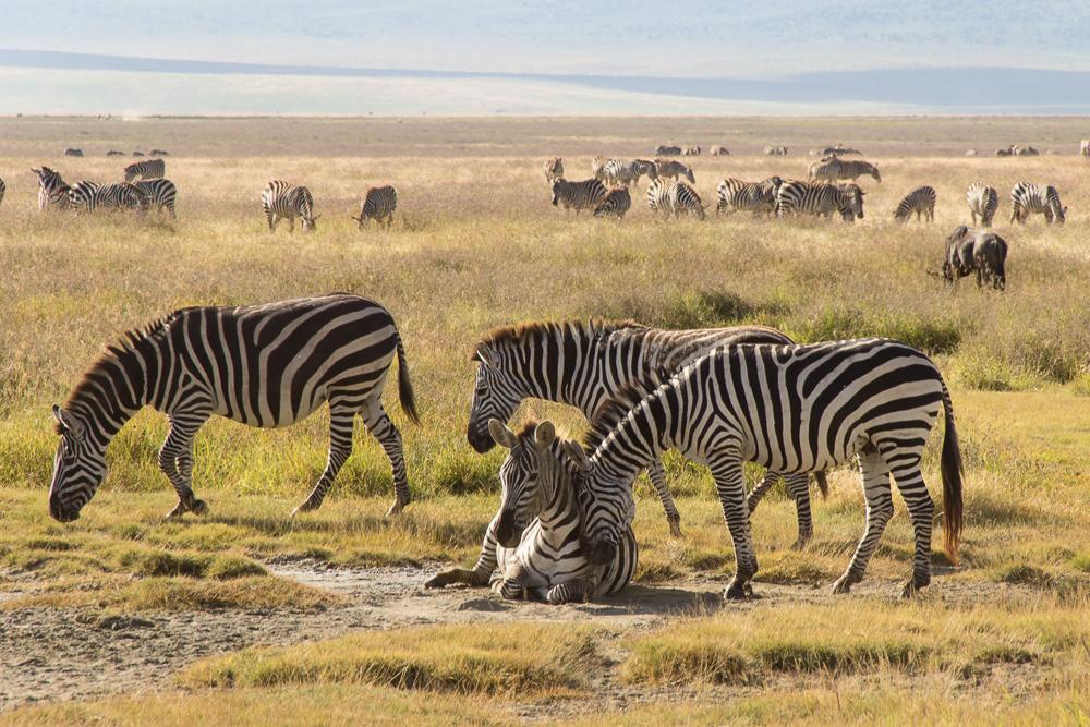 Gadventures Safari Tansania Zebra kuschelt