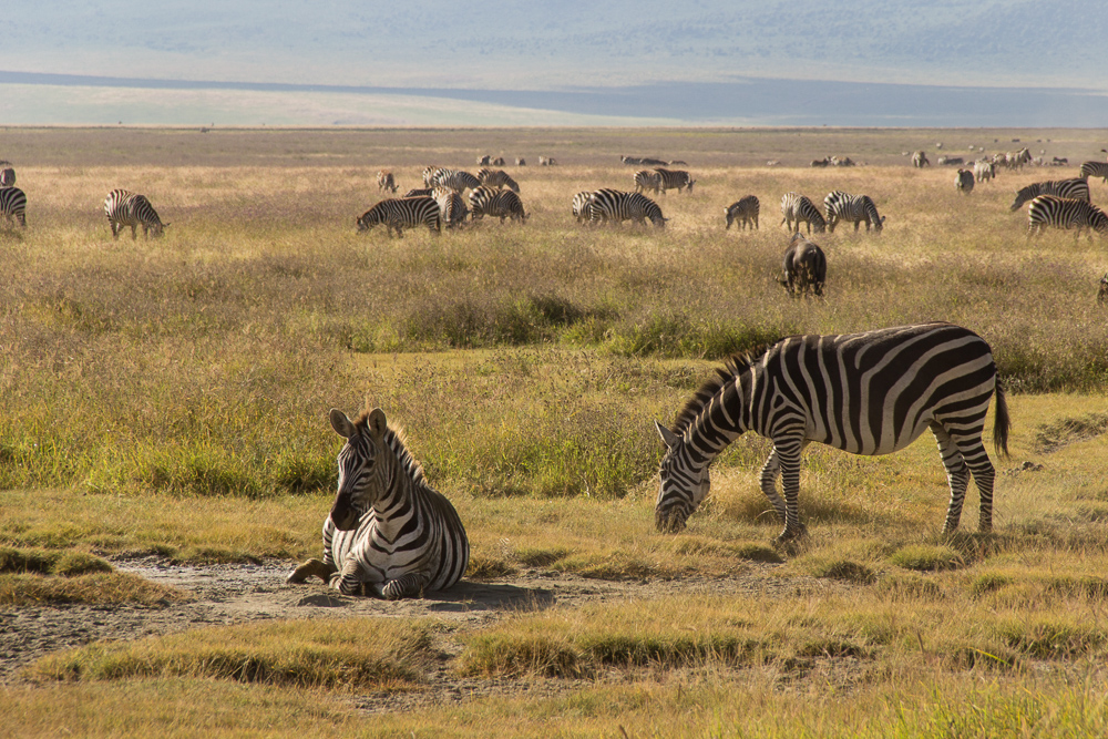 Pink Compass Tansania Safari Zebras