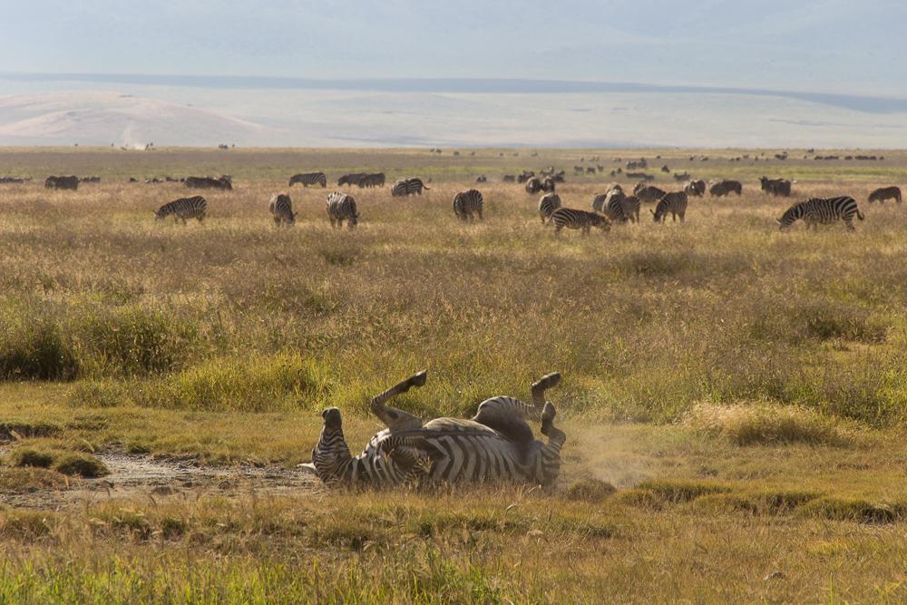 Pink Compass Safari Tansania Zebra Rueckenlage