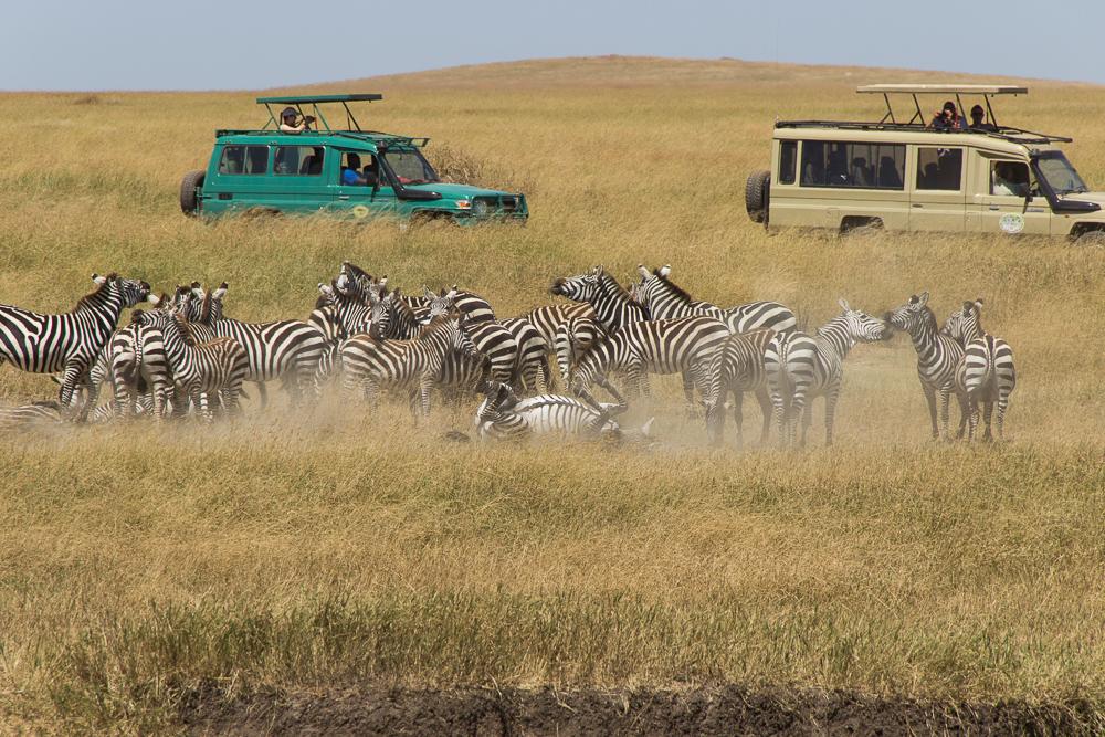 Gadventures Safari Tansania Zebra im Staub
