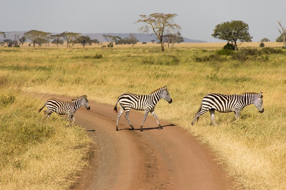 Gadventures Safari Tansania Zebrastreifen